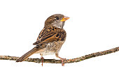 House Sparrow standing on branch against white background