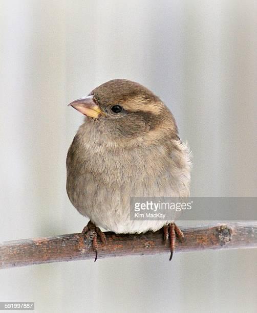 House sparrow-close up