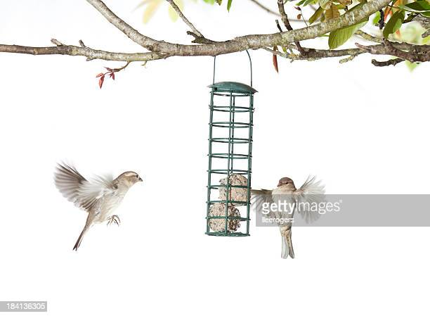 House Sparrows feeding from a birdfeeder on a white background