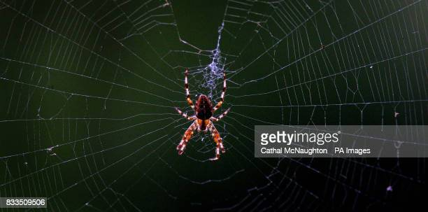 A House Spider mends its web in a South London Park