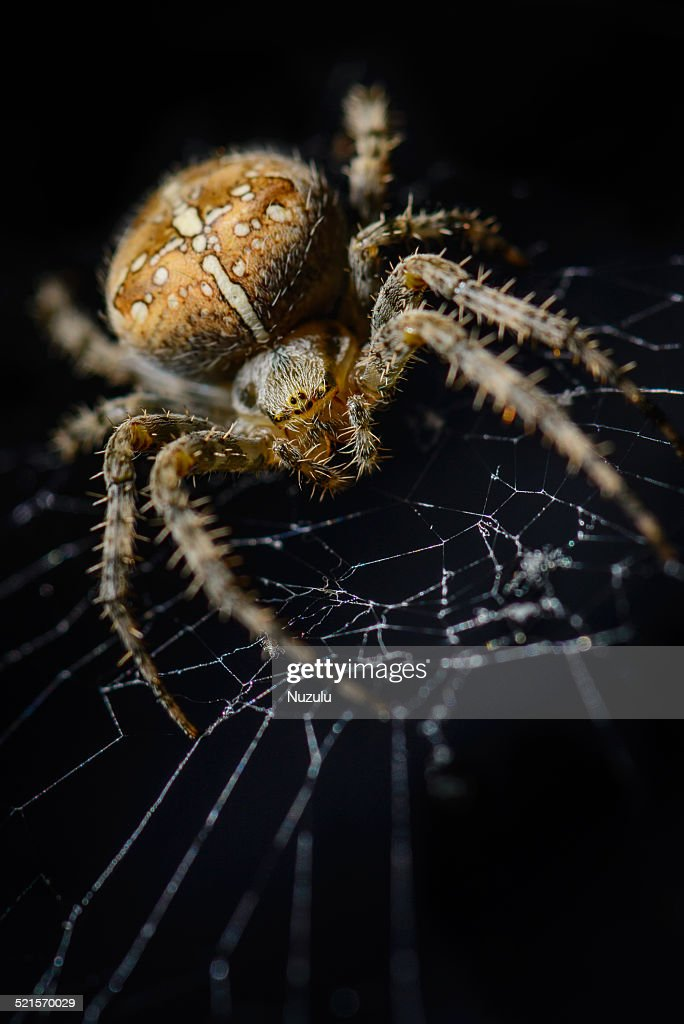 House spider (cross spider) staring from web