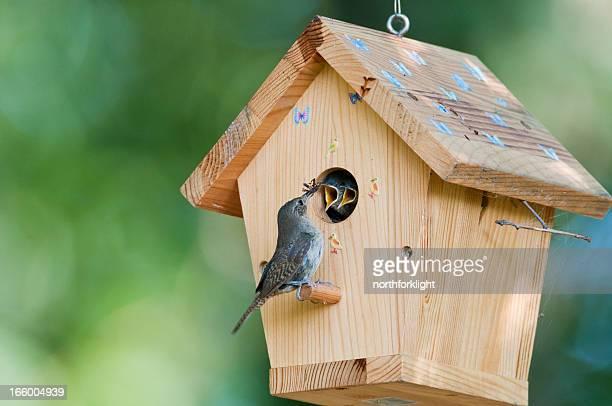 House wren feeds bug to babies in birdhouse