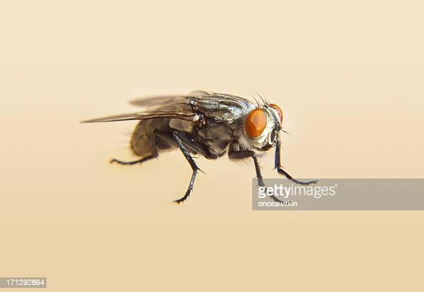 Housefly close up