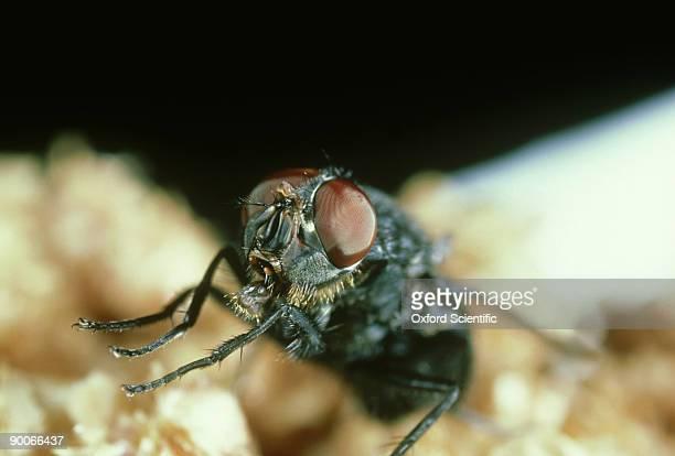 housefly: musca domestica