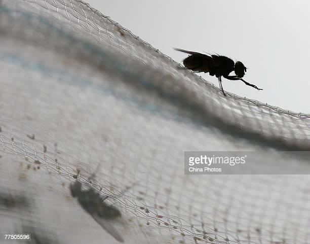 A housefly sits on nets at a housefly farm on October 25 2007 in Gaochun County of Jiangsu Province China The housefly may also be a source of...