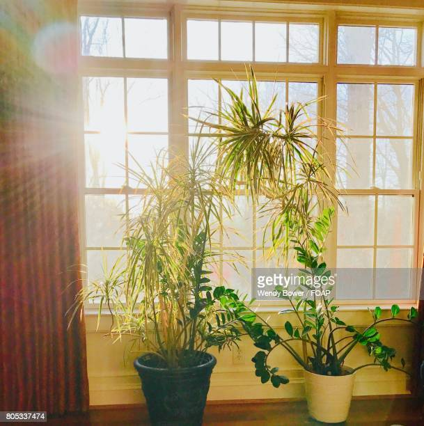 Houseplant by window