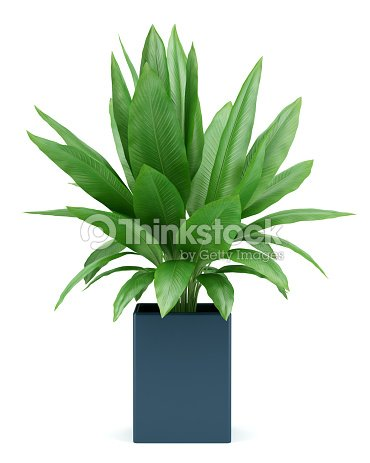 houseplant in pot isolated on white background : Stock Photo