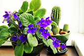 Potted African Violet (Saintpaulia) on the background of cactus, houseplants