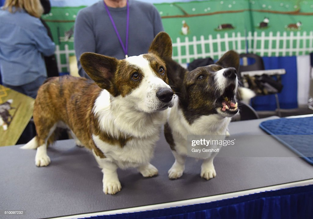 Houston, a three and a half year old male Cane Welsh Corgi (L) and Eva, a seven year old female Cane Welsh Corgi attend the 7th Annual AKC Meet The Breeds at Pier 92 on February 13, 2016 in New York City.