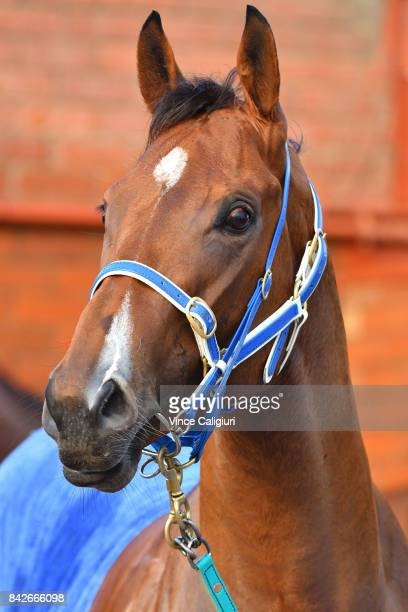 Houtzen after track gallops at Moonee Valley Racecourse on September 5 2017 in Melbourne Australia