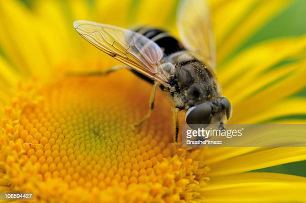 Hoverfly Collecting Pollen