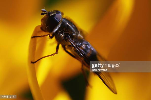 Hoverfly collects pollen from a crocus in Hyde Park as the first signs of Spring begin to show across the United Kingdom on February 24 2014 in...