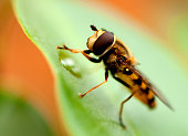 Hoverfly lunching on a leaf