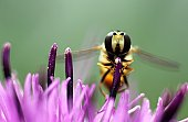 Hover-fly on flower