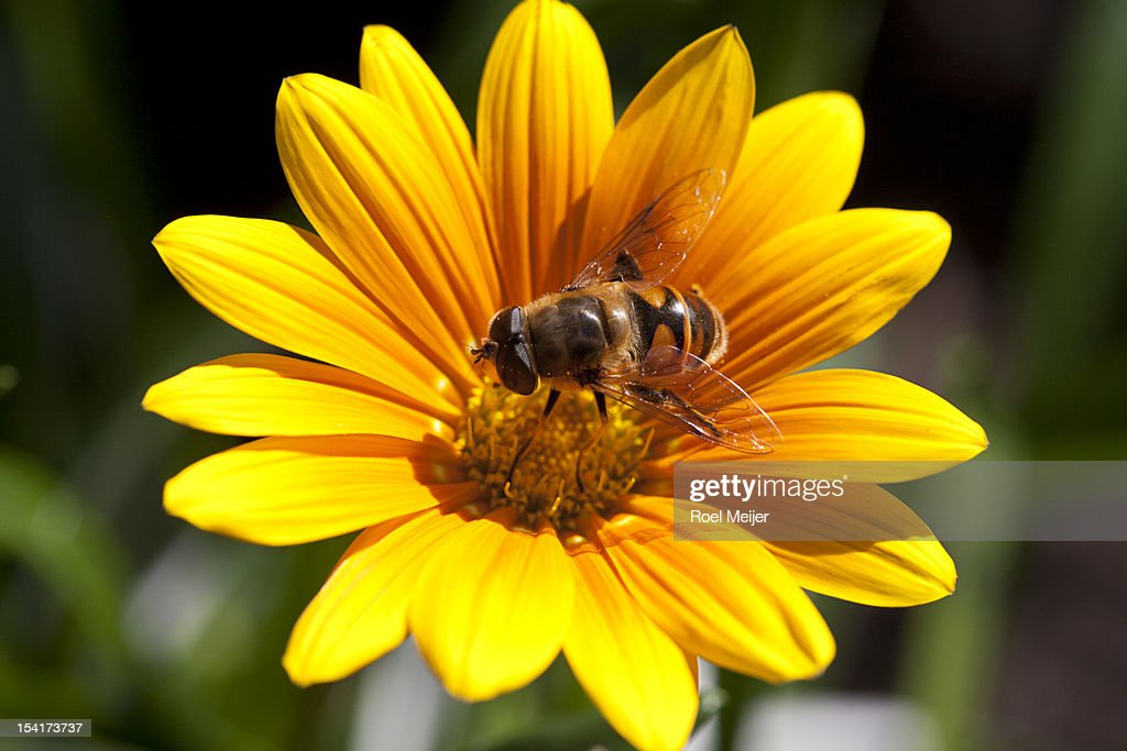 Hoverfly on Gazania flower. : Stock Photo