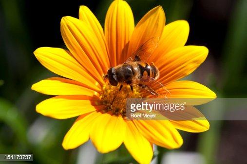 Hoverfly on Gazania flower. : Stock Photo
