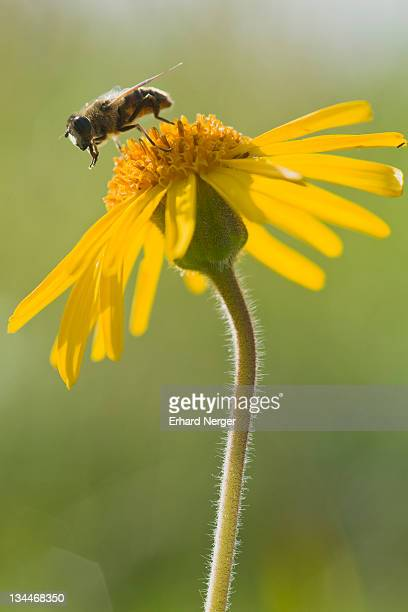 Hoverfly on Wolf's bane, Mountain arnica (Arnica montana)