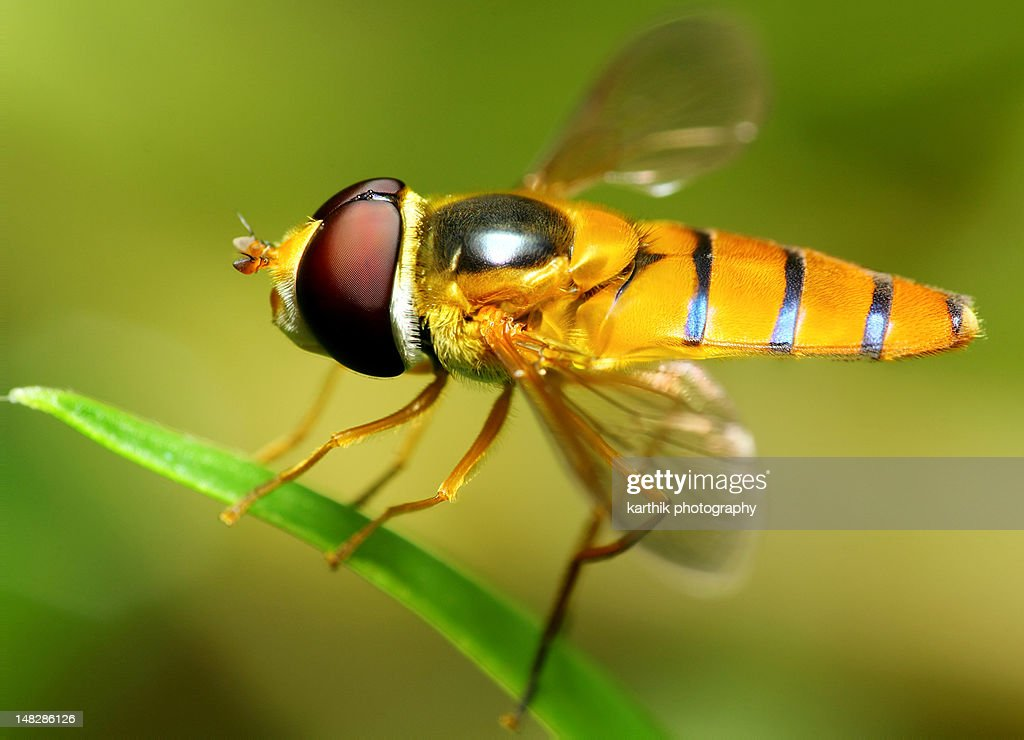 Hoverfly resting : Stock Photo
