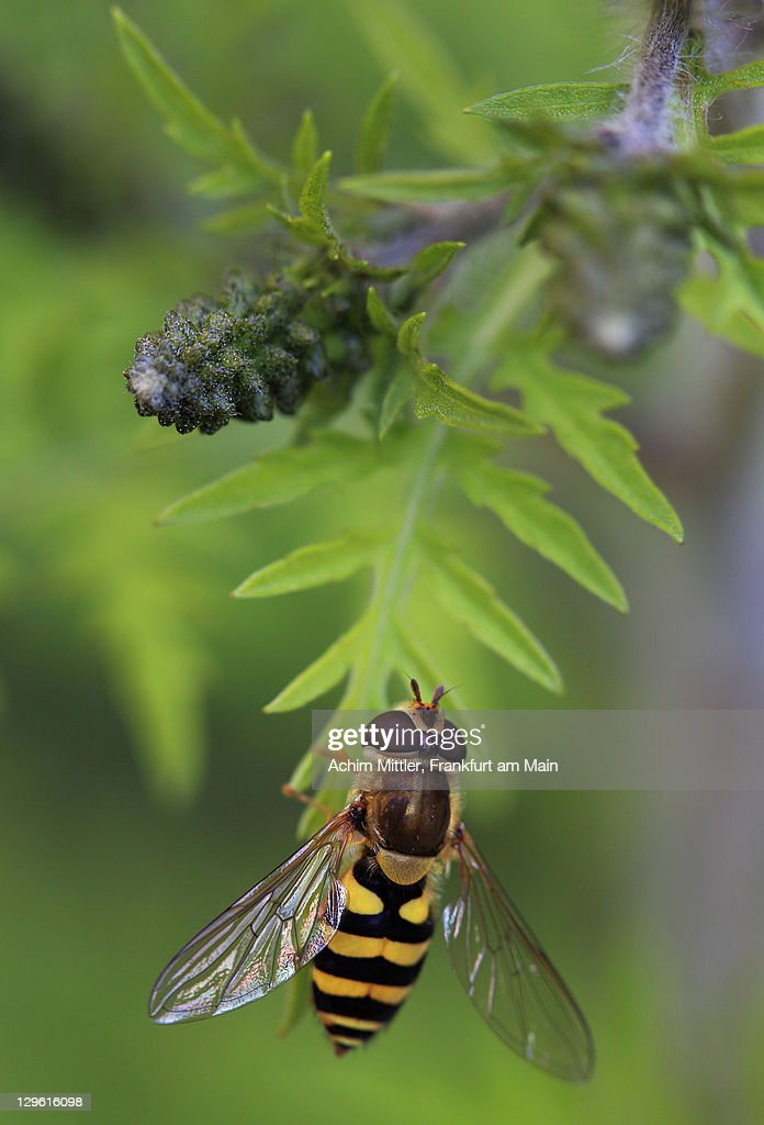 Hoverfly sitting on green plant : Stock Photo