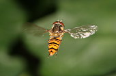 Hovering marmalade hoverfly