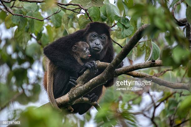 Howler Monkeys, Mom and Baby