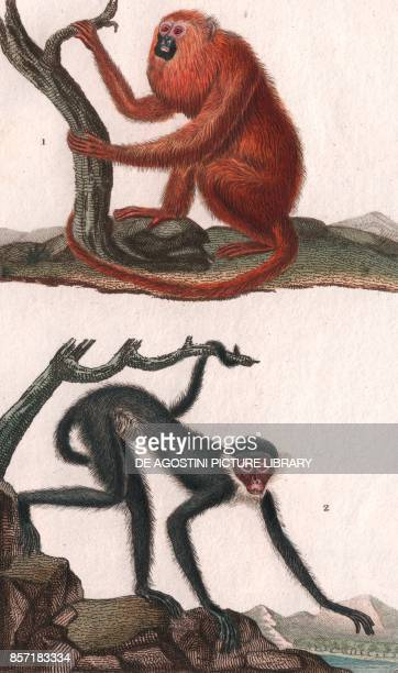 1 Howler monkeys Venezuelan red howler 2 Spider monkeys Whitebellied spider monkey colour copper engraving retouched in watercolour 9x15 cm from...