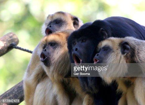 Howling black howler Monkeys