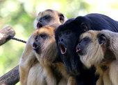 Howling black howler Monkeys