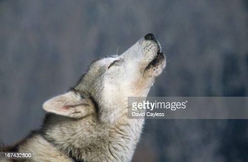 Howling husky : Foto de stock