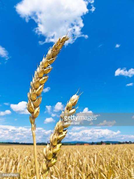 Ähren von Gerste auf einem Getreidefeld eines Bauern im Sommer
