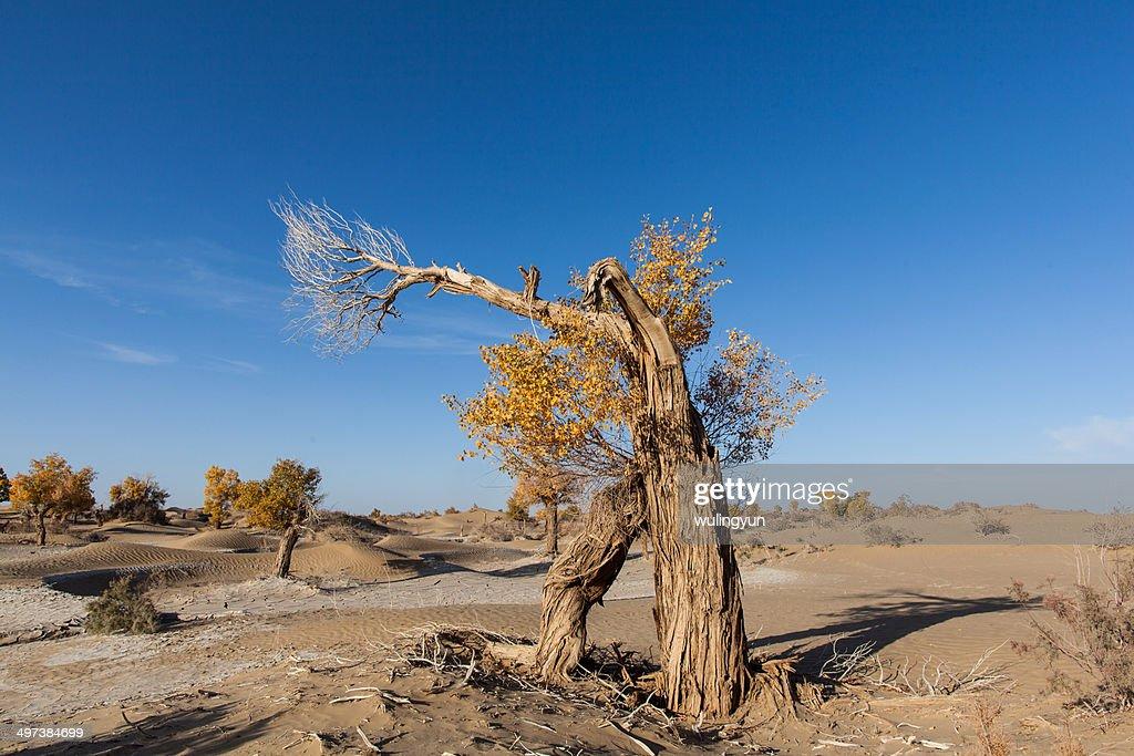 Hu poplar in desert