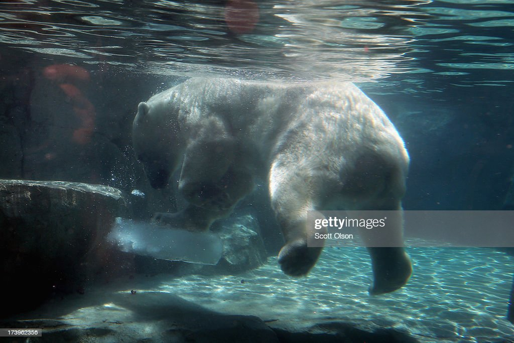 Hudson, a polar bear, cools down with a block of ice during a swim in his enclosure at Brookfield Zoo on July 18, 2013 in Brookfield, Illinois. A heat wave continues to grip much of the country today with temperatures expected to top 90 degrees in forty-seven states.