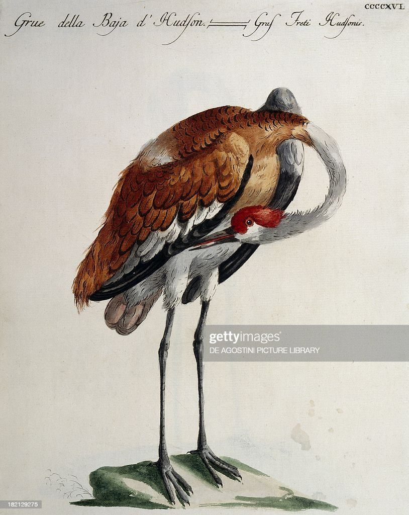 Hudson Bay Crane colour etching by Lorenzo Lorenzi and Violante Vanni from Natural History of Birds by Saverio Manetti Florence 17671776 Milan Museo...