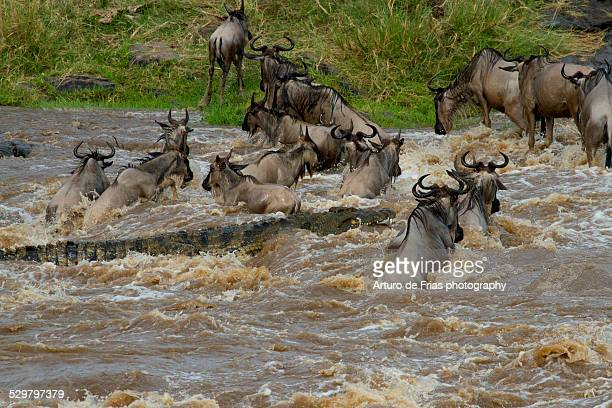 A huge 5-meter Nile Croc attacking Wildebeests