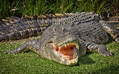 A huge Saltwater Crocodile basks in the hot Australian sun with its mouth open, looking evil.
