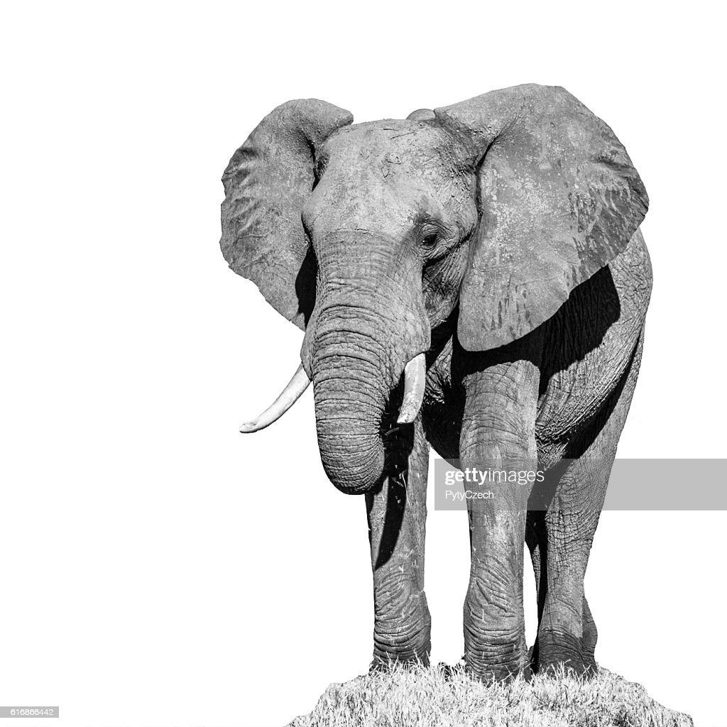 Huge african elephant isolated on white background : Stock Photo