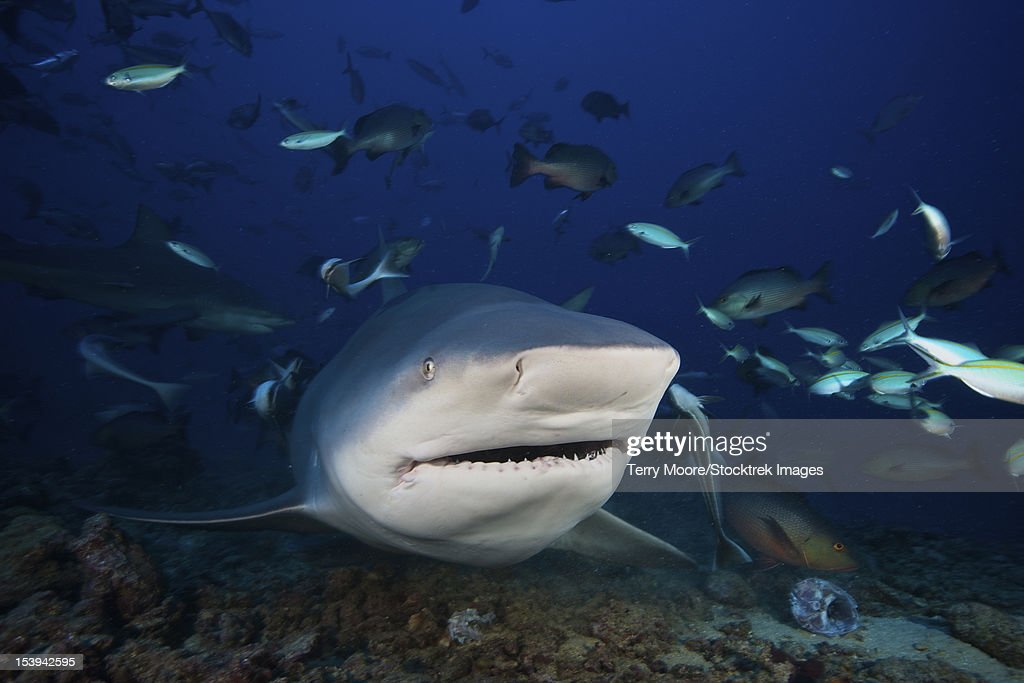 Huge bull shark with mouth open, Fiji. : Stock Photo