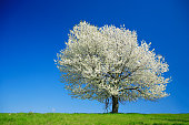 Huge Cherry Tree Blooming on Meadow in Spring Landscape