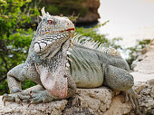 Huge green iguana with pink eyes on Caribbean island of Curacao at Playa Lagun.