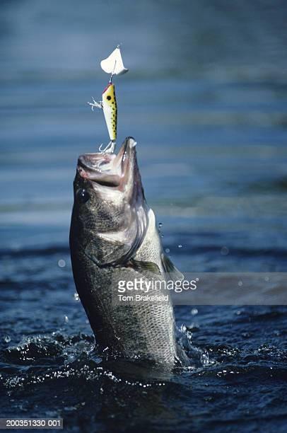Huge largemouth bass jumping