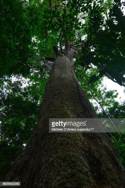 Huge mahogany tree