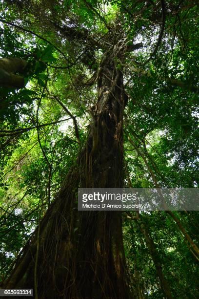Huge mahogany tree surrounded by creeper plants