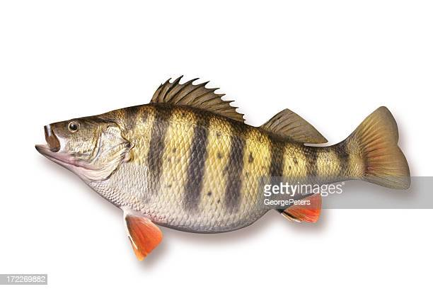 Huge Perch