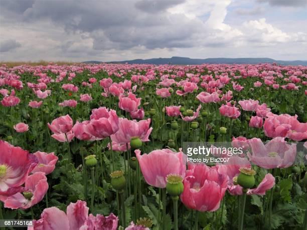 Huge pink poppy field
