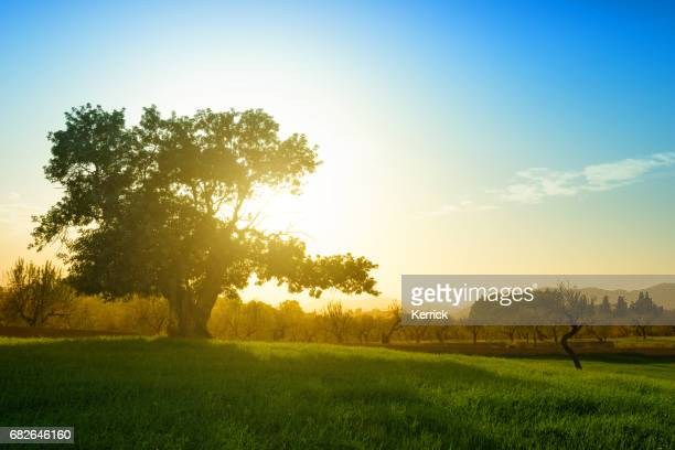 huge single tree on hill in backlit - carob tree