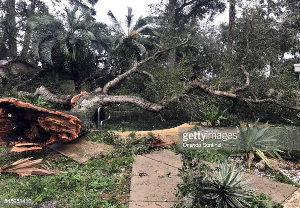 A huge tree knocked down by Hurricane Irma winds Sunday night covers a backyard pool in the Woodlands subdivision of Longwood Fla on Monday Sept 11...