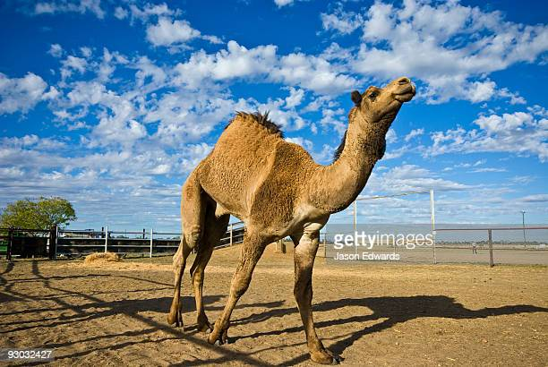 An enormous wild caught camel paces out in a pen waiting for auction.