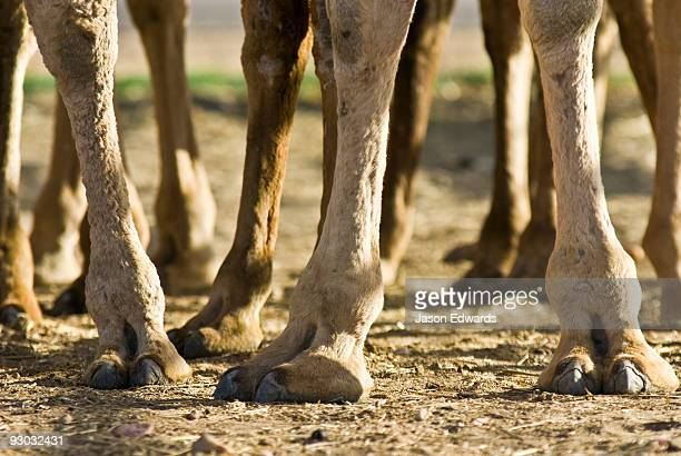 The huge toes and claws of the Dromedary Camel adapted for soft sand.