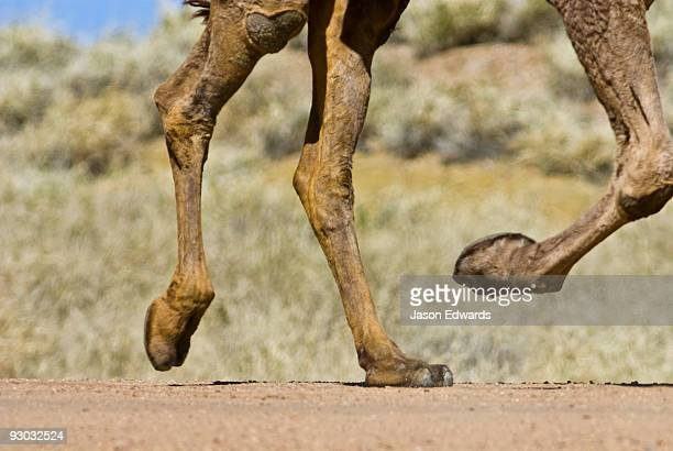 Detail of a Dromedary Camels hooves at full gallop along a dirt track.