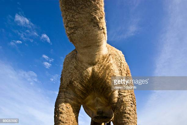 An abstract view of the chest, neck and thighs of a Dromedary Camel.